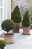 Box in terracotta pots on winter terrace