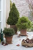 Conifers in terracotta tubs on winter terrace