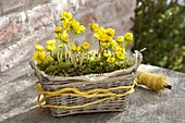 Eranthis hyemalis (winter aconite) with moss in the basket box