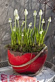 Muscari armeniacum 'White Magic' (White Grape Hyacinth)