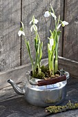Galanthus nivalis planted in old kettle