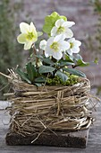 Helleborus niger in homemade grass pot on board