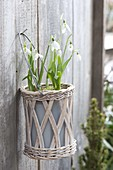 Galanthus nivalis in basket hanging on wooden wall
