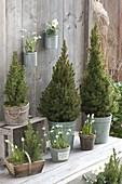 Picea glauca 'Conica' (Sugarloaf spruce), Galanthus nivalis