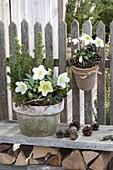 Pots with Helleborus niger and Picea glauca 'Conica'