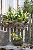 Basket box hanging on a wooden fence, Eranthis hyemalis, Galanthus nivalis