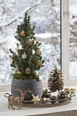 Picea glauca 'Conica' (Canadian spruce) decorated for Christmas