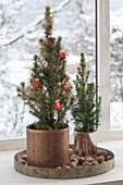 "Picea glauca ""Sugarloaf"" in copper planters"