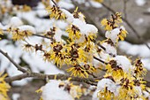 Snowy twigs of Hamamelis 'Arnold Promise' (witch hazel)