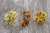 Hamamelis board, Hamamelis intermedia 'Pallida' twigs