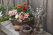 Primula acaulis (primrose) and ranunculus (ranunculus) in the basket