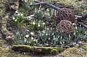 Galanthus nivalis (snowdrop) and Leucojum vernum