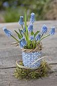 Muscari armeniacum (Grape Hyacinth) in cup