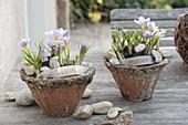 Crocus chrysanthus 'Blue Pearl' (Crocus) in conical pots