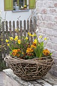 Basket bowl of twigs with Clematis tendril, planted with Narcissus