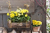 Primula in wooden box hanging on the scale wall