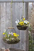 Spring hanging baskets, Eranthis, Scilla