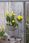 Baskets with Narcissus 'Tete A Tete', Ranunculus