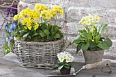 Basket and pot with primula elatior (primrose)