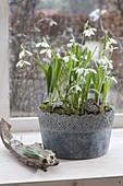 Galanthus nivalis (Schneeglöckchen) im grauen Topf