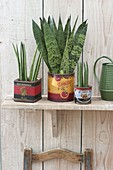 Sansevieria trifasciata and cylindrica in decorative tins