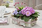 Basket packed with birch bark, Primula acaulis (primrose)