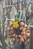 Onion (Allium cepa) wreath with Narcissus flower