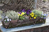 Pots in basket on moss, viola cornuta (horn violet)