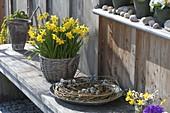 Narcissus 'Tete A Tete' in basket on bench, Salix wreath