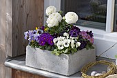 Cement box with ranunculus, Primula X juliae hybrids