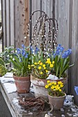 Spring awakening, Eranthis, Scilla