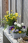 Cement boxes with ranunculus, Primula X juliae hybrids