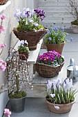 Spring on the terrace, Crocus, Iris reticulata