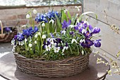 Early spring in purple-white planted basket wreath
