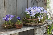 Crocus chrysanthus 'Blue Pearl' and Iris reticulata