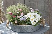 Zinc bowl with Primula acaulis (Primrose), Bellis (daisies)