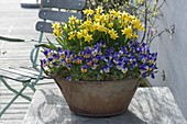 Rusty tin pan with Narcissus 'Tete a Tete' and Viola
