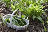 Wild garlic, in the bed, basket of freshly harvested wild garlic