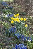 Blue-yellow spring bed, Muscari armeniacum