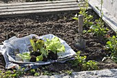 Young lettuce plants (Lactuca) for planting