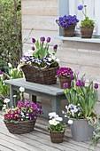 Spring terrace with Tulipa 'Purple Prince', 'Holland Beauty'