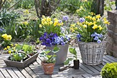Spring terrace with Narcissus 'Tete A Tete', Viola cornuta
