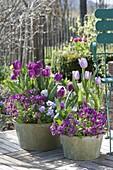 Tulipa 'Purple Prince', 'Holland Beauty', Arabis