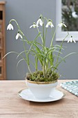 Galanthus nivalis (snowdrop) with moss in cup