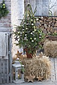Picea abies on straw bales as a living Christmas tree,