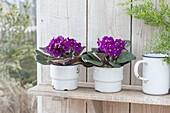Saintpaulia Ionantha (African Violet) in old enamel cups