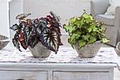 Begonia Rex 'Fireworks' (Blattbegonie)