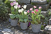 Blooming pink Tulipa 'Foxtrot', 'Holland Beauty' rose, 'Calgary' white