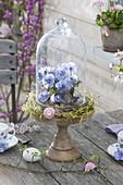 Viola cornuta 'Sorbet Xp F1 Marina' under glass bell