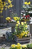 Frühling in Holzkisten : Tulipa (Tulpen), Fritillaria meleagris